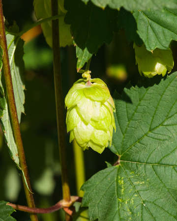 common hop: Green flower cones on Common Hop, Humulus Lupulus, close-up, selective focus, shallow DOF. Stock Photo