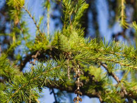 Green cone of Siberian larch or Larix sibirica with fir-needles in summer against bokeh background, selective focus, shallow DOF. Imagens