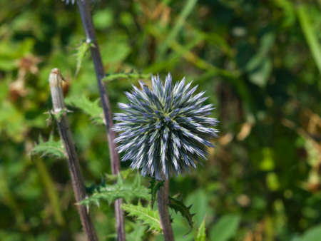 glandular: Flower buds of Great globe-thistle or Echinops sphaerocephalus close-up, selective focus, shallow DOF.