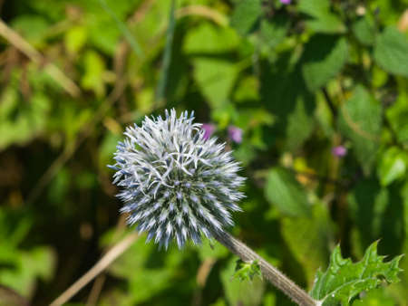 glandular: Blossom of Great globe-thistle or Echinops sphaerocephalus close-up, selective focus, shallow DOF.