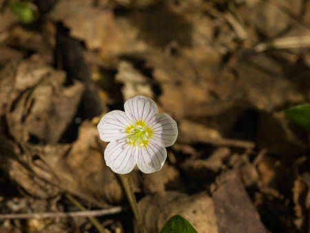 Common Wood Sorrel, Oxalis acetosella, flower macro with leaves defocused, selective focus, shallow DOF.