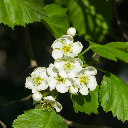 Blossoming hawthorn or maythorn or Crataegus flowers close-up, selective focus, shallow DOF.