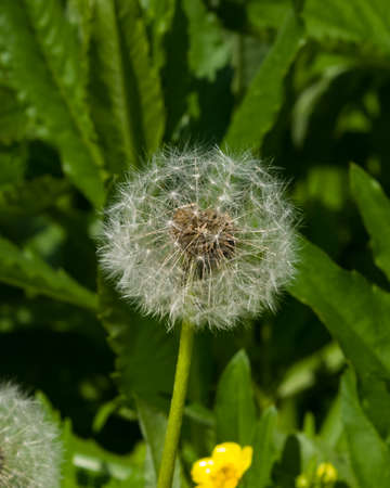 Dandelion with ripe seeds on bokeh background, macro, selective focus, shallow DOF. Stock Photo