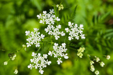 Cow Parsley or Wild Chervil, Anthriscus sylvestris, flower clusters macro, selective focus, shallow DOF.