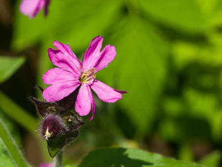 Red Campion, Silene Dioica, flower on fluffy stem with bokeh background, selective focus, shallow DOF. Stock Photo