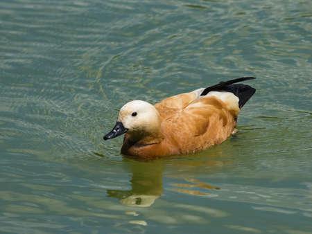 Male Ruddy shelduck Tadorna ferruginea swimming close-up portrait, selective focus, shallow DOF.