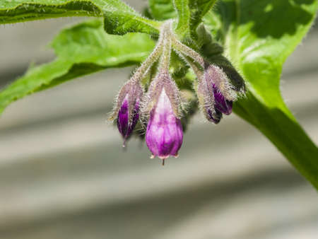 Flowers of Common Comfrey, Symphytum officinale, with bokeh background close-up, selective focus, shallow DOF.
