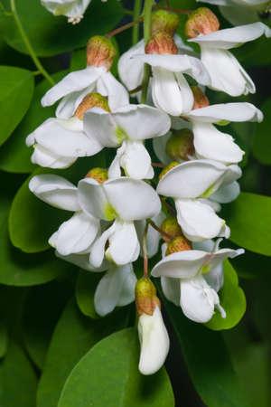 Black Locust, False Acacia or Robinia pseudoacacia blooming close-up, selective focus, shallow DOF.