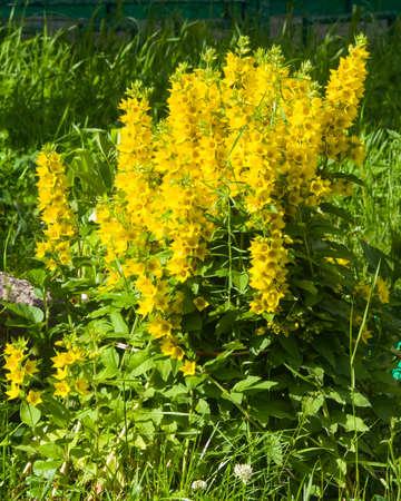 Garden or yellow loosestrife lysimachia vulgaris flowers close up garden or yellow loosestrife lysimachia vulgaris flowers close up selective focus stock mightylinksfo