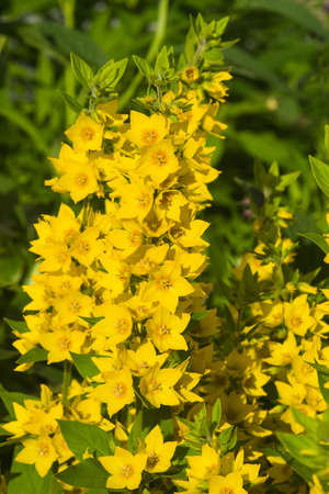 Garden or Yellow loosestrife, Lysimachia vulgaris, flowers close-up, selective focus, shallow DOF. Stock Photo