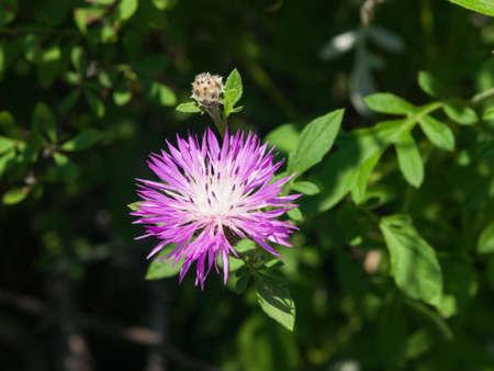 Flower of Persian or Whitewash cornflower, Centaurea dealbata, close-up, selective focus, shallow DOF.