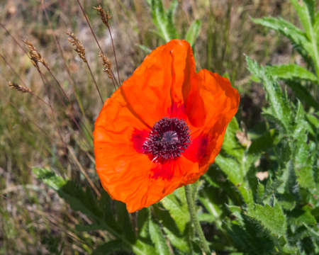 Red flower of Poppy, Papaver, blossom in wild macro, selective focus, shallow DOF. Stock Photo
