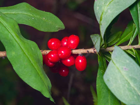 Spurge laurel or Daphne mezereum poisonous plant fruit close-up with bokeh background, selective focus, shallow DOF.