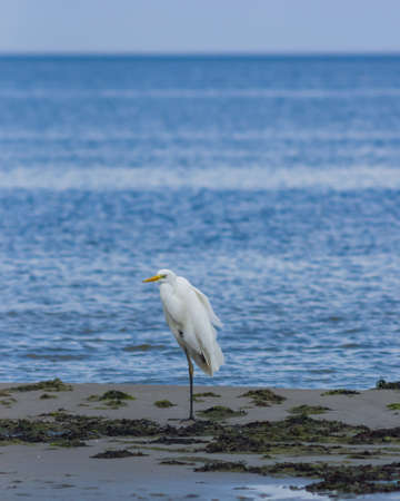 Great white heron or Great egret, Ardea alba, close-up portrait at sea shore with bokeh background, selective focus, shallow DOF. Stock Photo