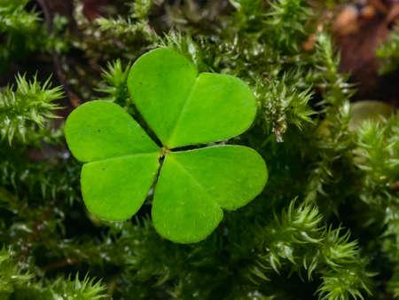Common Wood Sorrel Oxalis acetosella leaf in moss macro, selective focus, shallow DOF.