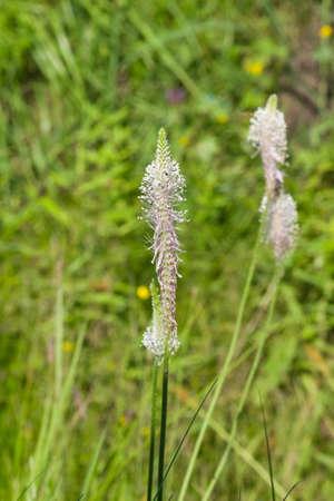 Hoary Plantain Plantago media blossom in weed, macro, selective focus. Imagens