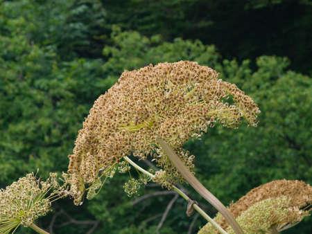Seeds on dangerous plant Hogweed Sosnowski, Heracleum sosnowskyi, closeup, selective focus, shallow DOF.