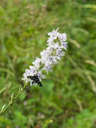 Nine-spotted moth or yellow belted burnet, Amata phegea, formerly Syntomis phegea, macro on pale delphinium flowers, selective focus, shallow DOF. Stock Photo