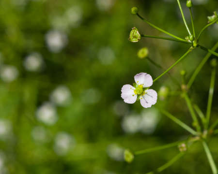 Flowers of European water-plantain or Alisma plantago-aquatica close-up, selective focus, shallow DOF.