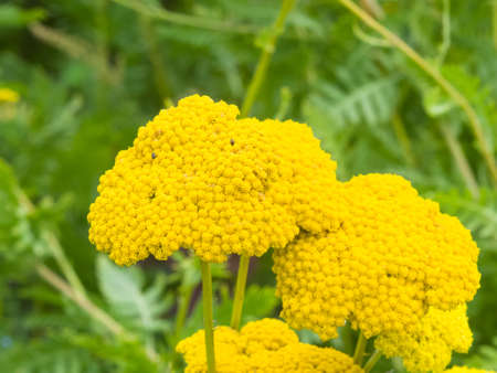 Flower of Fernleaf yarrow or Achillea filipendulina macro, selective focus, shallow DOF. Stock Photo