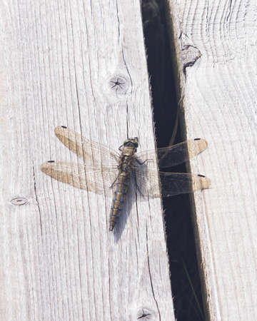 Female dragonfly Scarce Chaser or Libellula fulva macro on wooden plank, selective focus, shallow DOF. Stock Photo