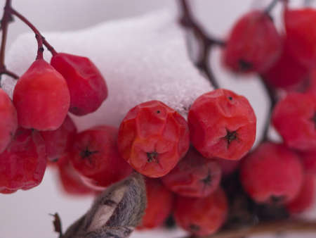 Red berries of rowan or mountain ash under snow in winter close-up, selective focus, shallow DOF.