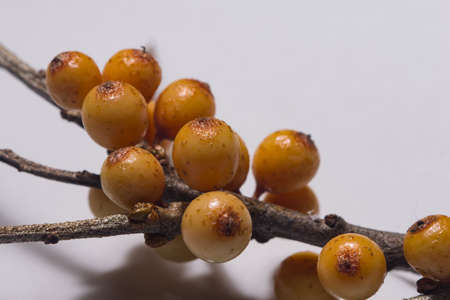 Frozen berries of sea-buckthorn on branch against white background, macro, selective focus.