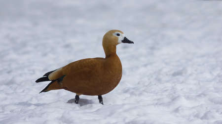 Female Ruddy shelduck Tadorna ferruginea walking on snow over frozen pond, selective focus. Standard-Bild - 111608944