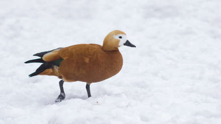 Female Ruddy shelduck Tadorna ferruginea walking on snow over frozen pond, selective focus. Standard-Bild - 111608945