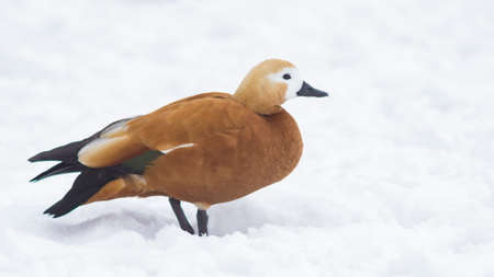 Female Ruddy shelduck Tadorna ferruginea walking on snow over frozen pond, selective focus. Standard-Bild - 111608946