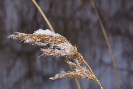 Dry grass in snow against bokeh background close-up, selective focus. Standard-Bild - 111608957