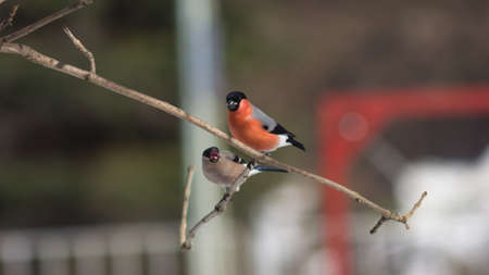 Red-colored Male and defocused female of Eurasian Bullfinch, Pyrrhula pyrrhula, close-up portrait on branch with bokeh background, selective focus, shallow DOF. Standard-Bild - 112256144