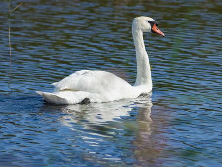 Mute swan, Cygnus olor, swimming in lake close-up portrait, selective focus, shallow DOF. Standard-Bild - 112256160