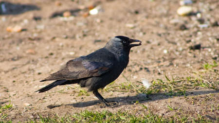 Jackdaw bird, Corvus monedula on ground with seed in beak, selective focus, shallow DOF. Standard-Bild - 112256162