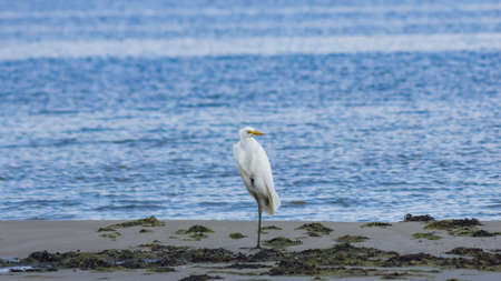 Great white heron or Great egret, Ardea alba, close-up portrait at sea shore with bokeh background, selective focus, shallow DOF. Standard-Bild - 112256166