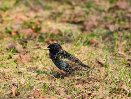 Common starling, sturnus vulgaris, sitting in dry grass with garbage, selective focus, shallow DOF. Standard-Bild - 112256408
