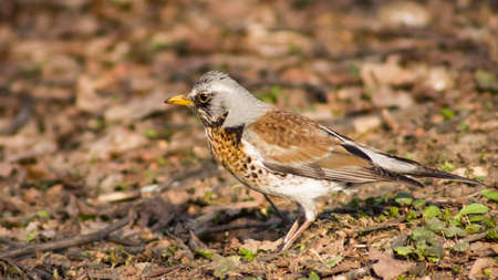 Fieldfare turdus pilaris close-up portrait in dry grass, selective focus, shallow DOF. Standard-Bild - 112256409