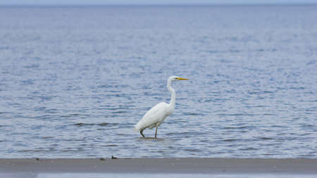 Great white heron or Great egret, Ardea alba, close-up portrait at sea shore with bokeh background, selective focus, shallow DOF. Standard-Bild - 112256422