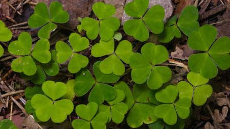 Common Wood Sorrel Oxalis acetosella leaves texture macro, selective focus, shallow DOF. Standard-Bild - 112256424