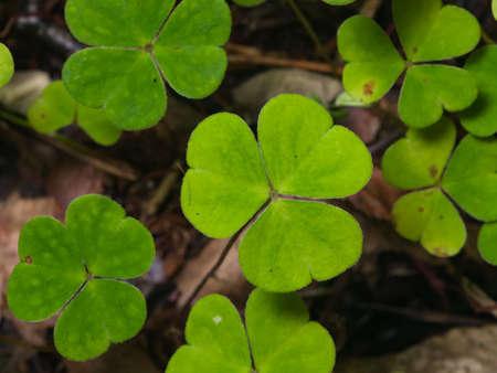 Common Wood Sorrel Oxalis acetosella leaves texture macro, selective focus, shallow DOF. Standard-Bild - 112256426