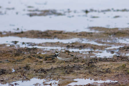 Smal shorebird little ringed plover or charadrius dubius close-up portrait at sea shoreline, selective focus, shallow DOF. Standard-Bild - 112395177