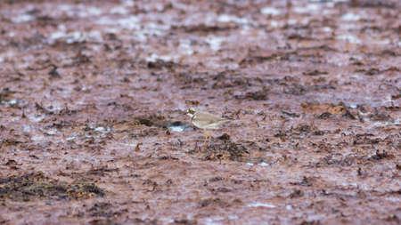 Smal shorebird little ringed plover or charadrius dubius close-up portrait at sea shoreline, selective focus, shallow DOF. Standard-Bild - 112395180