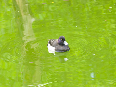 Male Tufted Duck or Aythya fuligula swimming in pond, close-up portrait, selective focus, shallow DOF. Standard-Bild - 112395050