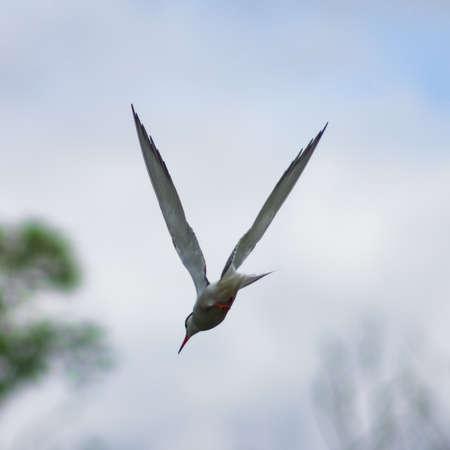Common tern, Sterna hirundo in flight close-up portrait with bokeh background, selective focus, shallow DOF. Standard-Bild - 112395064