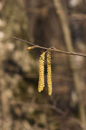 Hazelnut catkins on branch macro with bokeh background, selective focus, shallow DOF. Standard-Bild - 112395067