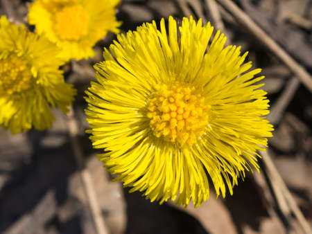 Flower in early spring, blooming coltsfoot, tussilago farfara, macro with bokeh background selective focus, shallow DOF. Standard-Bild - 112395069