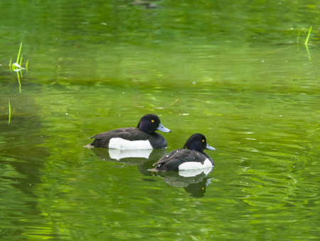 Two males of Tufted Duck or Aythya fuligula swimming in river, close-up portrait, selective focus, shallow DOF. Standard-Bild - 112395083
