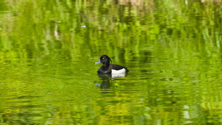 Male Tufted Duck or Aythya fuligula swimming in river, close-up portrait, selective focus, shallow DOF. Standard-Bild - 112395084