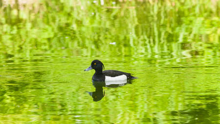 Male Tufted Duck or Aythya fuligula swimming in river, close-up portrait, selective focus, shallow DOF. Standard-Bild - 112394971