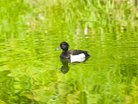 Male Tufted Duck or Aythya fuligula swimming in river, close-up portrait, selective focus, shallow DOF.